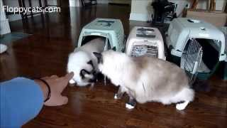 4 Ragdoll Cats Reunite After 2 Year Hiatus - ねこ - ラグドール - Floppycats