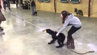 Ginny Giant Schnauzer Puppy Protection Training