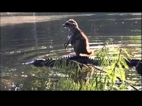 hqdefault raccoon rides an alligator youtube