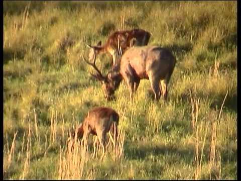Rusa deer Afternoon Feed