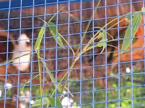 chao mao trung mang boi trong aviary.avi