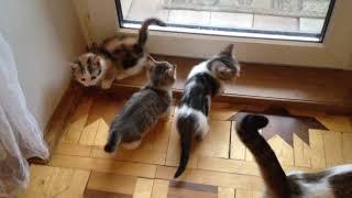 котята манчкины