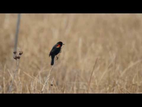 Red-Winged Blackbird Calling and Flying