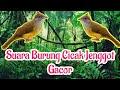 Suara Burung Cucak Jenggot Gacor  Mp3 - Mp4 Download