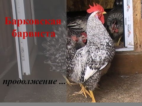 Порода кур Барвиста //ПТИЦА //Breed chickens Barvista
