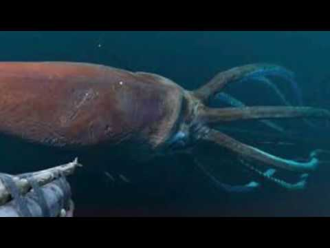 Giant squid fights Sperm whale!- Squid wins