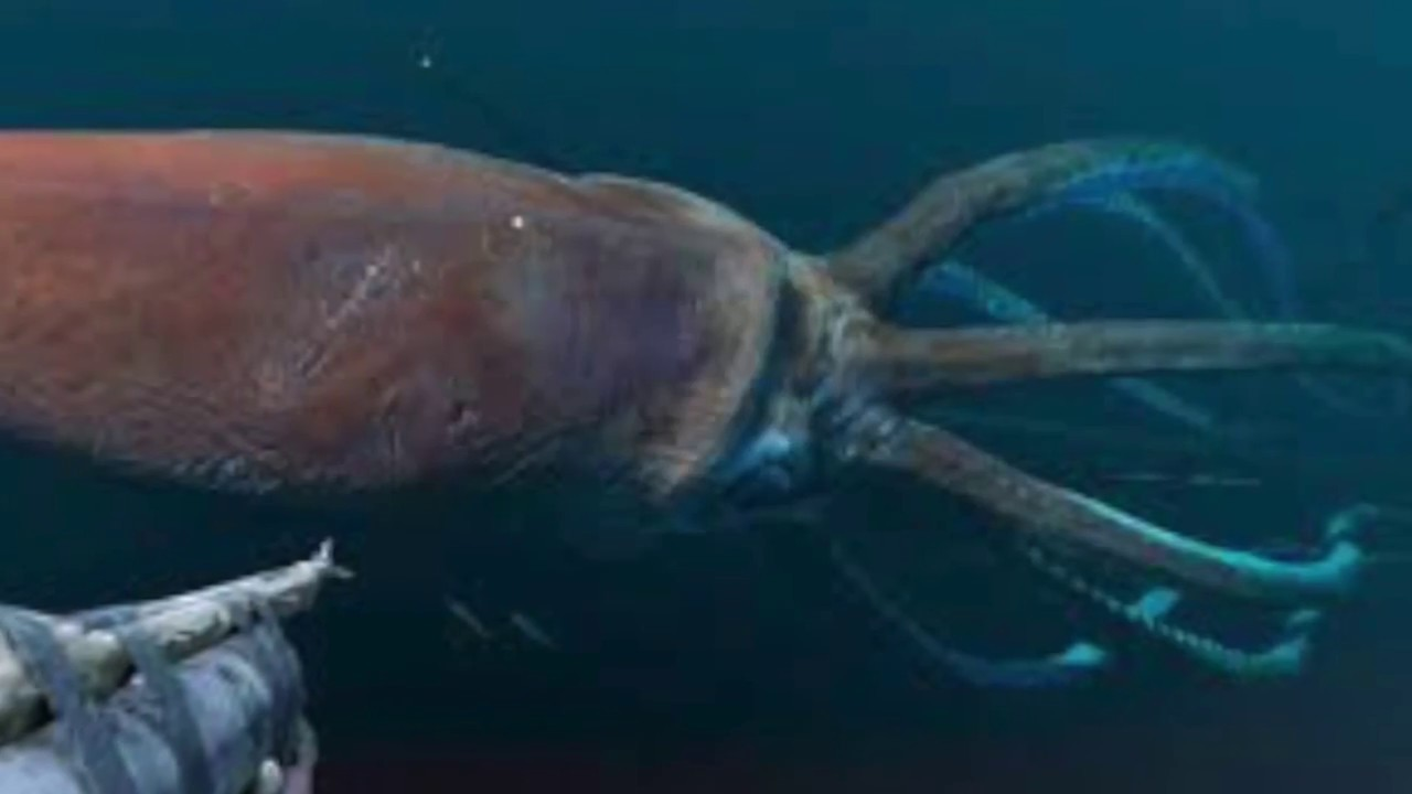 Discovery sperm whale squid