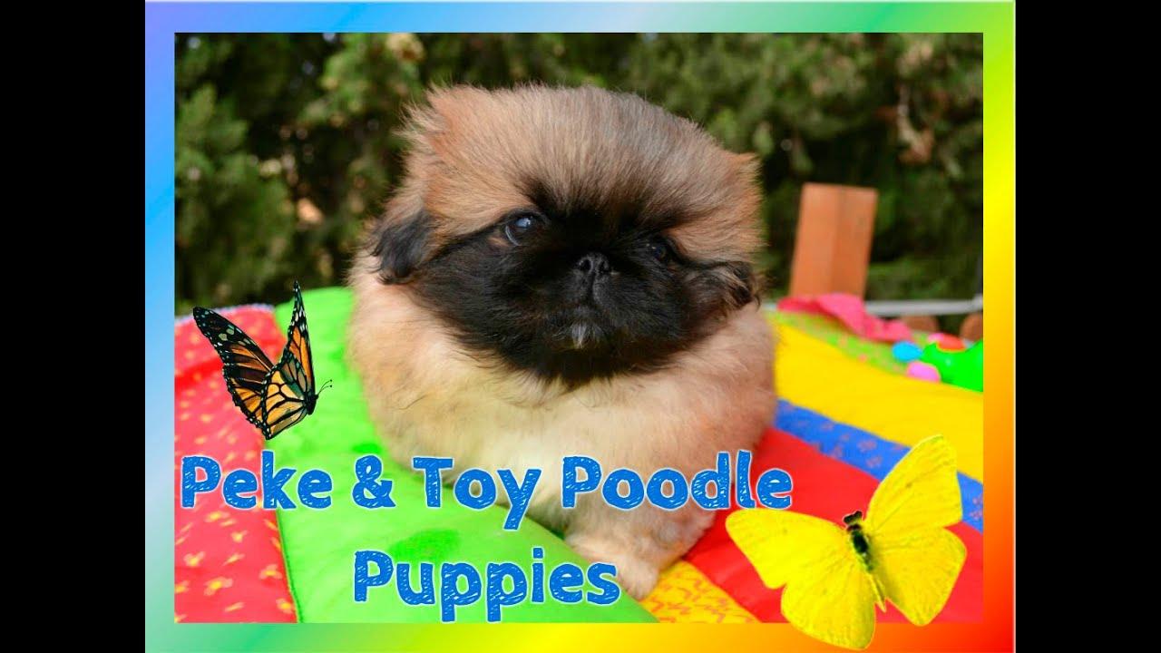 Pekingese Toy Poodle Puppies – Wow Blog