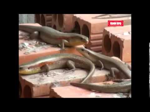vietlinh.vn - Kỹ thuật nuôi rắn mối (Bạc Liêu)