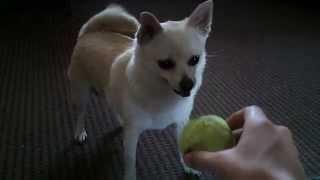 Pomeranian Chihuahua Mix Playing