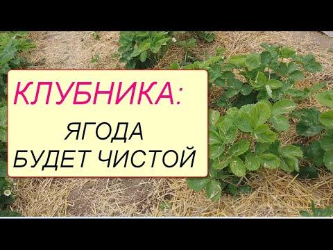 Вопрос: Чем засыпать землю между кустами клубники чтобы ягоды не гнили?