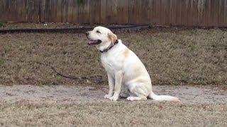 Yellow Lab - Tulsa Dog Obedience Board & Training