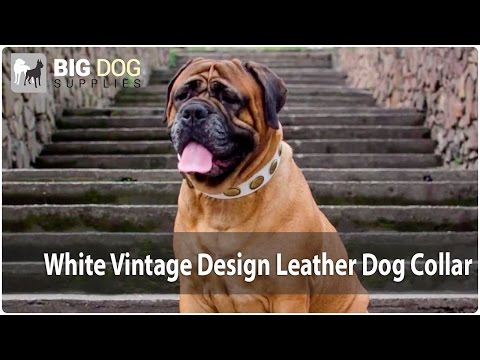 Cute Bullmastiff in White Vintage Dog Collar