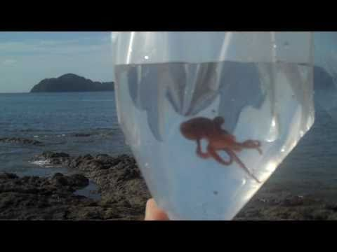 Thumbnail: Baby Pacific Octopus