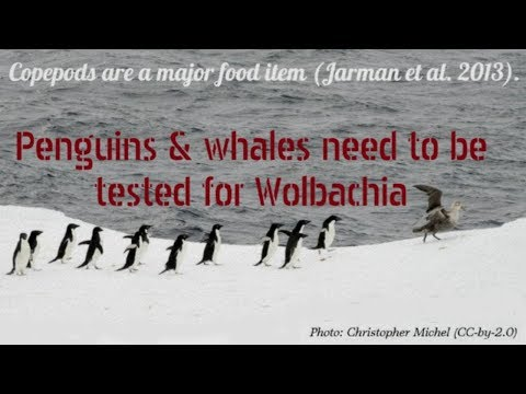 Wolbachia-Infected Aedes Are Likely Killing Whales and Penguins (Not Climate Change)