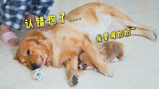 Little kirky treats golden retriever as his mother. Golden Retriever is confused!