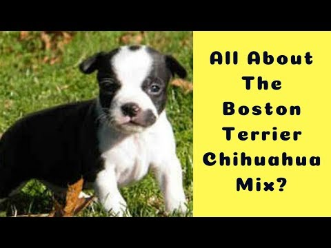 what-to-expect-of-a-boston-terrier-chihuahua-mix?