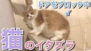 【猫のイタズラ】飼い主をトイレに閉じ込めようとする猫。