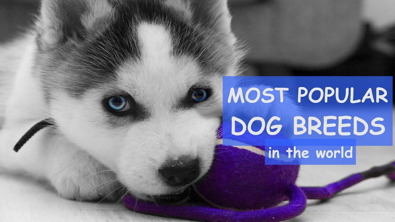 Most Popular DOG BREEDS In The World / German Shorthaired Pointer / Cocker Spaniel