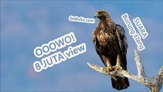 PIKATAN! Suara Burung Elang Garuda Rajawali Alap Alap Terbang Mp3 | Accipitridae
