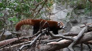 Active red panda