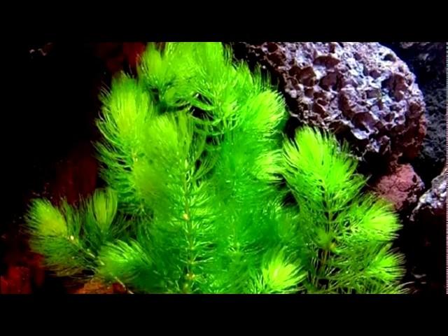 Самые неприхотливые аквариумные растения для новичка №1