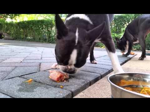 Boston terrier eating