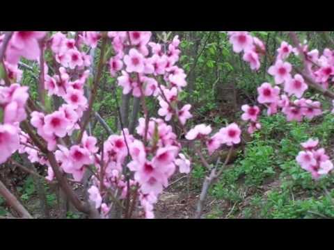 Как цветет персик фото
