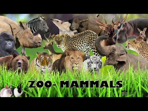 Wild Mammals at the Zoo+safari - bears,tigers,deer,zebra,leopard,giraffe,monkeys,gorilla,,etc
