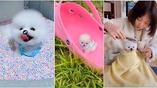 Chó Phốc Sóc Mİni Siêu Đáng Yêu | Pomeranian Dog Funny Video phần 1