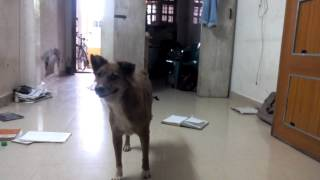 raja dog , gudiyatham