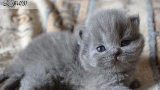 Мимишные британские котята на видео. 3 недели от роду.