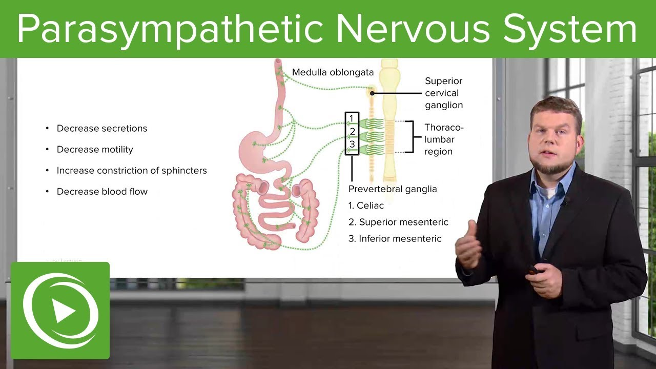 Parasympathetic Nervous System: Gastrointestinal System – Physiology  | Lecturio