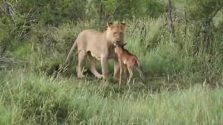 Lioness Protects a Baby Antelope