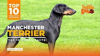 Manchester Terrier  Manchester Terrier Dog Breed  Top 10 Manchester Terrier Facts from Doggo Love.
