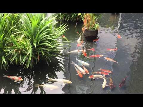 Singapore cleanest environment: Koi fish (cá Koi Singapore)