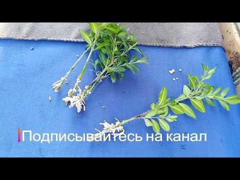 Вопрос: Как выращивать самшит в Сибири?