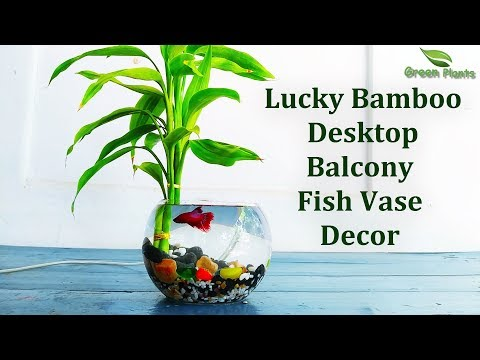 How To Grow Lucky Bamboo In Beta Fish Bowl | Lucky Bamboo Decoration | Lucky Bamboo//GREEN PLANTS