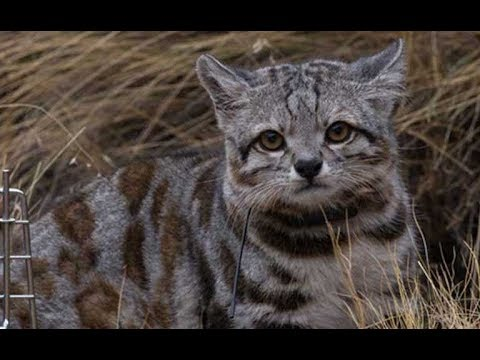 Top 5 Rarest Cat Breeds In Existence Today!