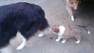 コリーの子犬、PAMの子犬達、生後38日目です。