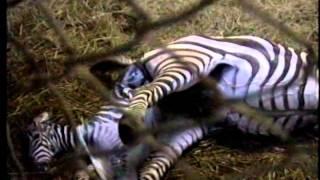 安佐動物公園で撮影されたグラントシマウマの出産シーンです。