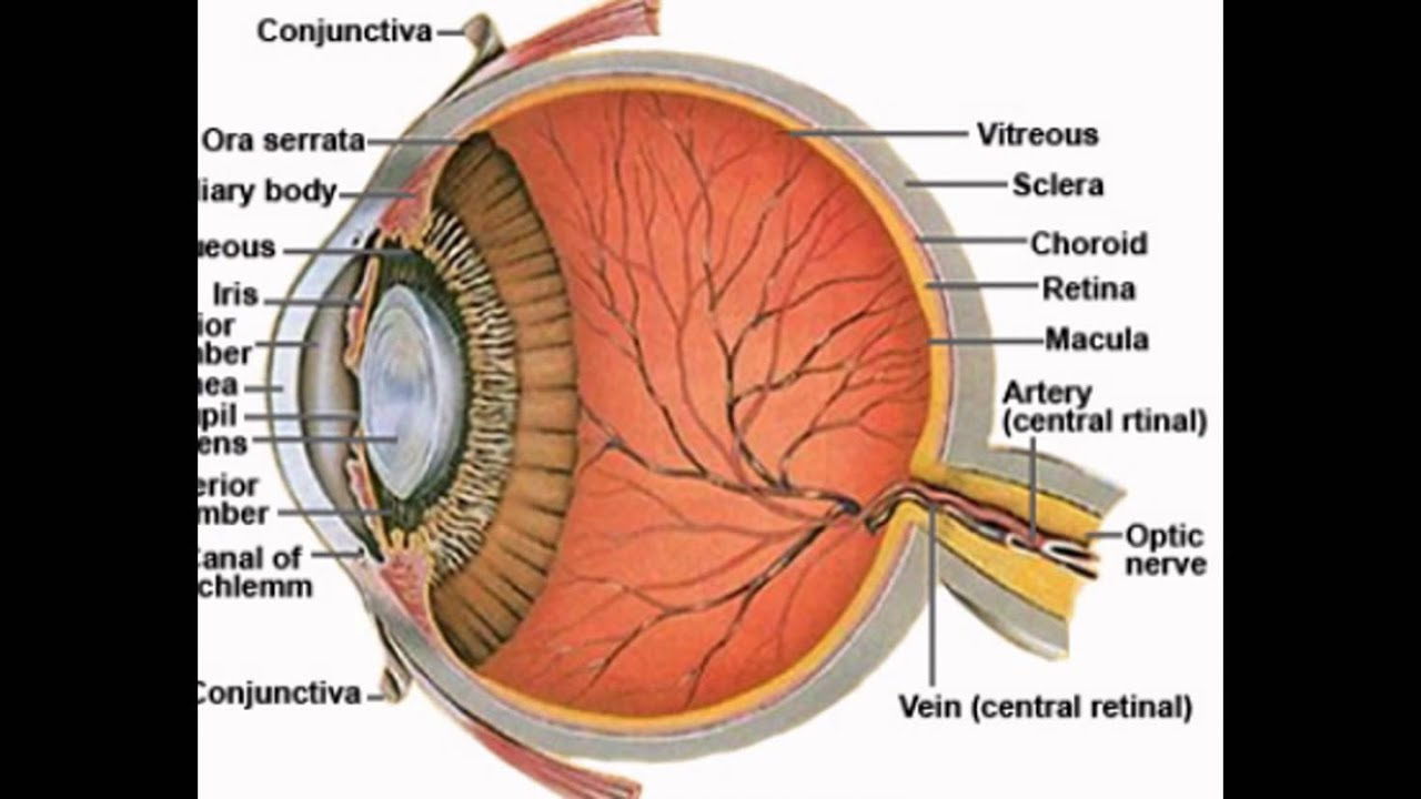 Eye Anatomy Sclera - YouTube