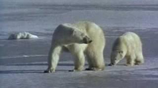 Noordpool  De ijsbeer - klimaatgetuige (2)