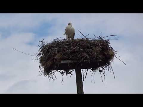 Cegonhas e passarinhos partilham o ninho na barragem de Vascoveiro - Pinhel