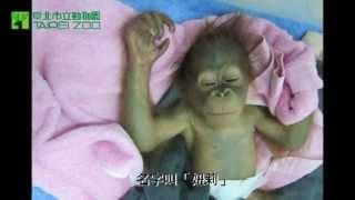 妞莉成長記事 Baby orangutan, Niu-li thumbnail
