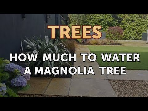 How Much To Water A Magnolia Tree Youtube