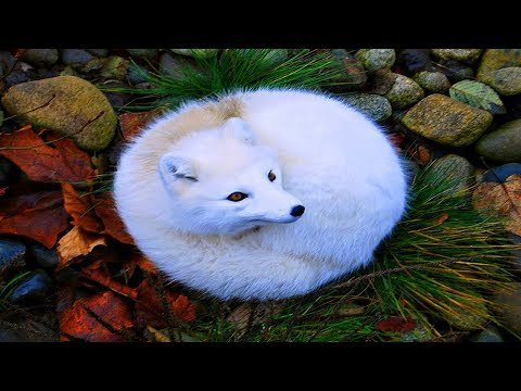 Arctic Fox Information    Arctic Fox Facts   Knowledge about Arctic Fox