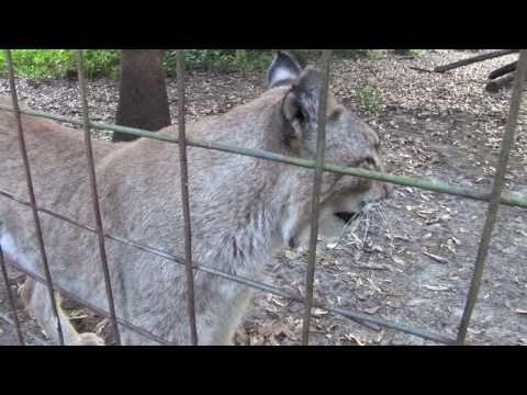 Talking Lynx!