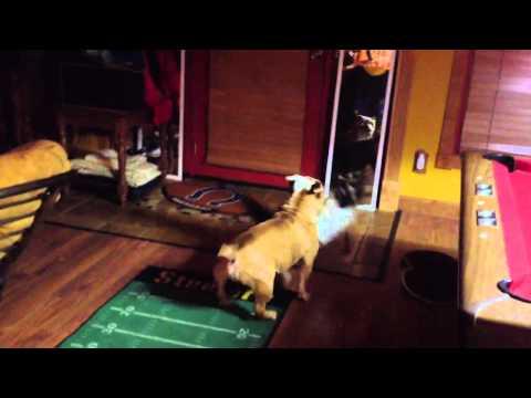 English Bulldog & Ragdoll cat