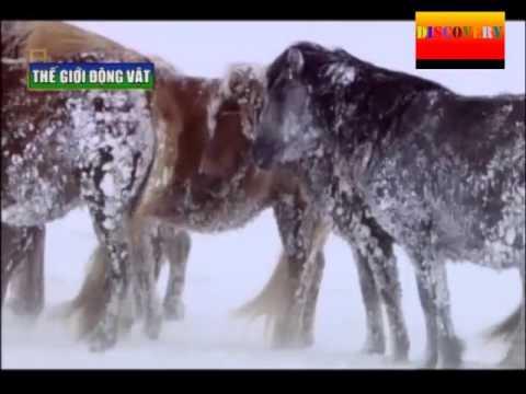Thế giới động vật : Bắc Âu hoang dã phần 1 - The Discovery : Nordic Wild part 1